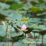 Waterlilies at Wetland Park