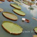 Lotus Pond at Punggol Jetty